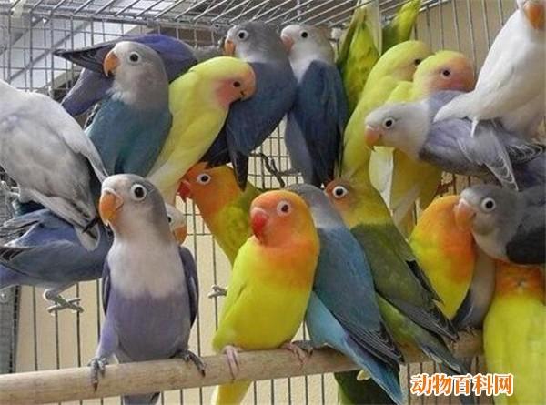 情侣鹦鹉什么时候下蛋,情侣鹦鹉如何分辨雄雌