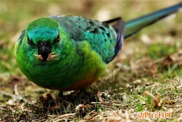 红腰鹦鹉可以养吗,红腰鹦鹉种类有哪些