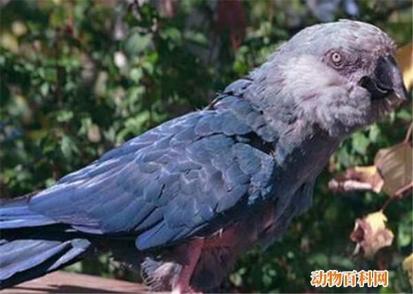 斯比克斯鹦鹉灭绝原因,斯比克斯鹦鹉都喜欢吃什么