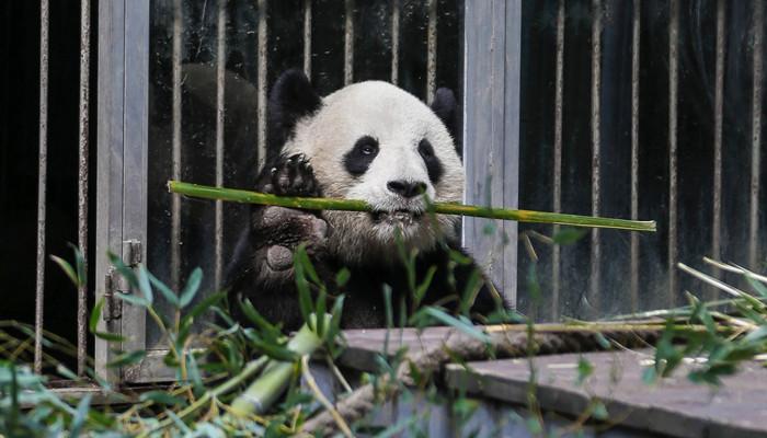 大熊猫是和平大使的原因