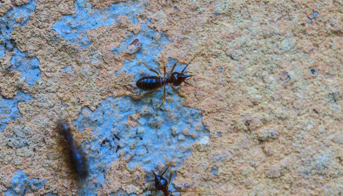 黑色蚂蚁是益虫还是害虫